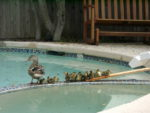 Ducks on spa wall, next to wooden ramp from spa to pool deck