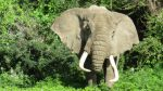 Elephant emerging from brush