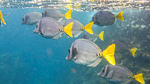 School of Razor Surgeonfish