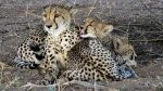 Mother cheetah and three cubs