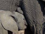 Close-up of baby elephant nursing with its trunk curled up over its head.